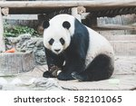 Panda  In Chiangmai Zoo ...