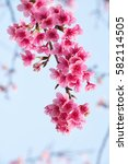spring cherry blossoms  pink... | Shutterstock . vector #582114505