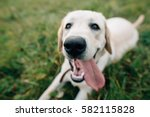 Funny Dog Labrador With With...