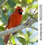 Red Cardinal Bird In Forest An...