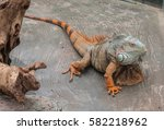 Large Green Iguana In A...