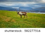Reindeer On A Field With City...