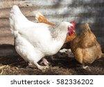 friendly isa brown hens hybrid... | Shutterstock . vector #582336202