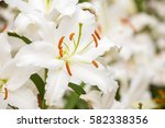 white asiatic lily flower in... | Shutterstock . vector #582338356