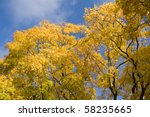 Golden Tops Of A Maple Trees O...