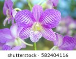 Purple Orchids Or Violet...