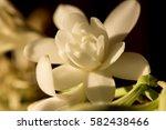 Tuberose Flowers On Natural...