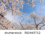 cherry blossoms blooming in... | Shutterstock . vector #582465712