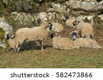 Swaledale Sheep By Some...