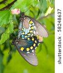 Green Swallowtails Mating