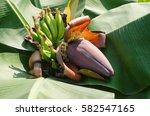 banana blossom. | Shutterstock . vector #582547165