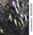 crocuses  | Shutterstock . vector #582600208