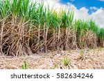 sugarcane field planting in the ... | Shutterstock . vector #582634246