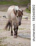 Small photo of Heck horse (Equus ferus caballus), claimed to resemble the extinct tarpan (Equus ferus ferus).