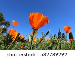 California Poppy Flower. View...