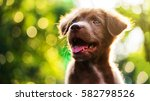 Stock photo brown cute happy puppy look up with sunset bokeh abstract background nova scotia duck tolling 582798526