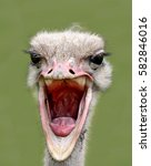 Ostrich With His Beak Open Wid...