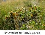 Small photo of Toxic fruits of Olive-leaved daphne (Daphne oleoides)