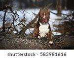 Dog American Pit Bull Terrier ...