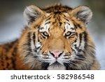 Siberian Tiger Portrait....