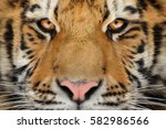 Siberian Tiger Face Detail....