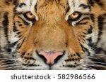 Siberian Tiger Face Detail....
