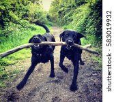 Two Black Labradors With Big...