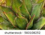 Small photo of Brilliant green Agave, also called Agave shawii, has yellow and red tips along its thorns.