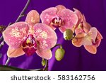 pink orchid macro with water... | Shutterstock . vector #583162756