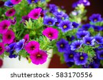 Olorful Petunia Flowers