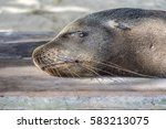 seal relaxes at the beach at... | Shutterstock . vector #583213075