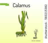 acorus calamus   medicinal herb....   Shutterstock .eps vector #583215382