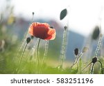 Red Orange Poppy Flowers...