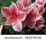 Azalea with water droplets