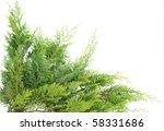 Evergreen Thuja  On White ...