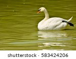 Floating White Goose On Pond...