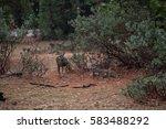 deer in the yosemite national... | Shutterstock . vector #583488292