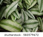 bright green leaves with white... | Shutterstock . vector #583579672