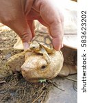 The Mother Tortoise Starts Off...