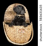 labradoodle puppy in a wicker... | Shutterstock . vector #583631635