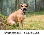 ca de bou or perro de presa... | Shutterstock . vector #583760656