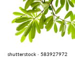 green leaf isolated on the... | Shutterstock . vector #583927972