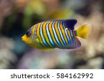 royal angelfish  pygoplites... | Shutterstock . vector #584162992
