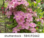Profusely Flowering Clematis...