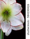 Small photo of White Amaryllis Flowers