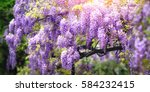 dreamy garden shot of wisteria... | Shutterstock . vector #584232415