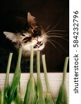 Small photo of cat eating green stem, showing teeth and big whiskers. beautiful cat with funny emotions biting plant on black background. space for text. yummy fresh vitamins for pet