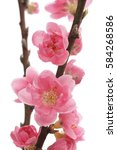 Peach Blossom Isolated On Whit...