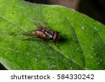 insect house fly  on on green...   Shutterstock . vector #584330242
