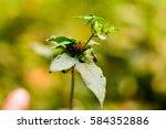 Small photo of Sclerocarpus africanus African Bonebract